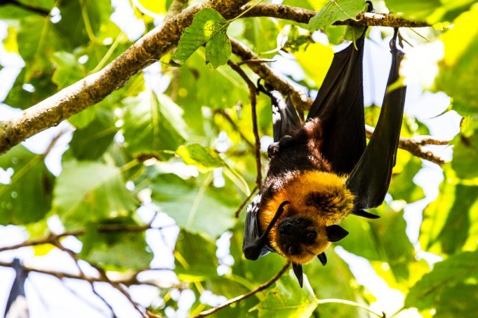 Study in Bats Suggests NPC1 May Play Role in Ebola