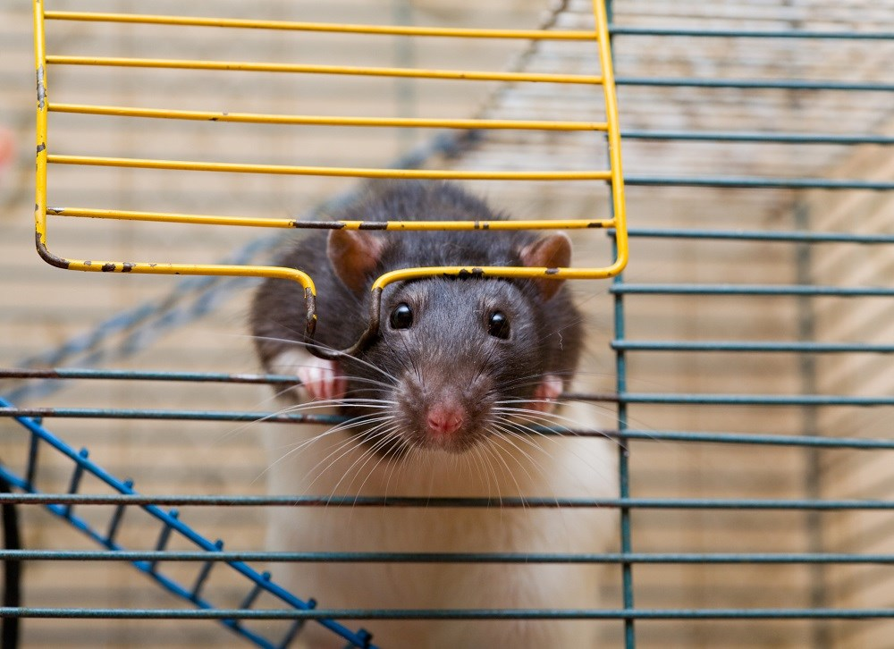 Potentially infected rodents may have been distributed or received in 15 states.