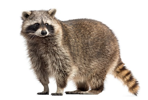 Enzootic to raccoons in the Midwest, northeast, and along the West coast, Baylisascaris procyonis infections have been documented across the country.