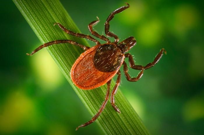 Rising temperatures contribute to more ticks and greater availability of hosts.