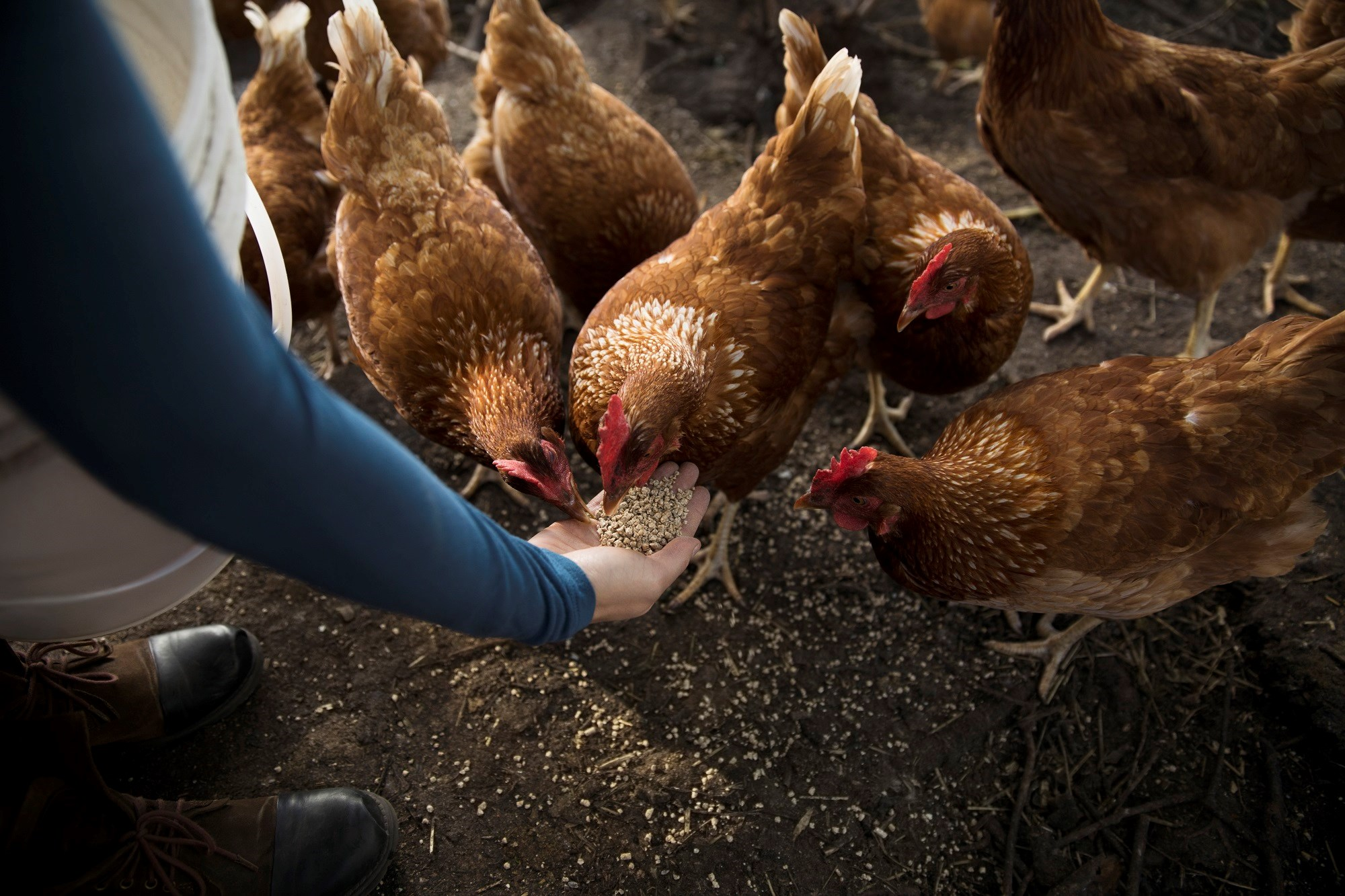 Final CDC Update on Salmonella Linked to Backyard Poultry