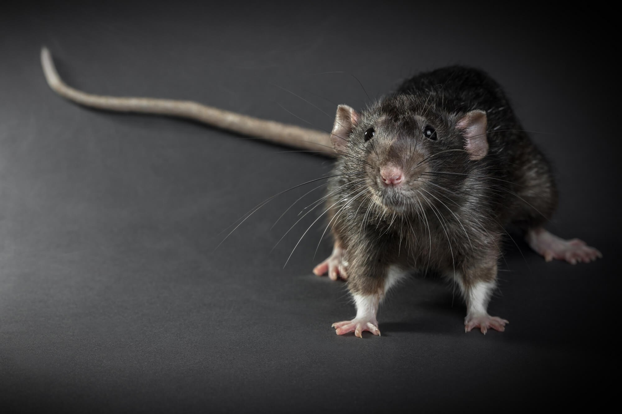 CDC: First Case of Rat-Borne Andes Virus Diagnosed in the US