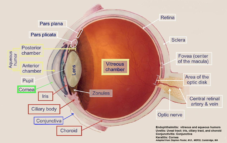 Limbus Eye Anatomy